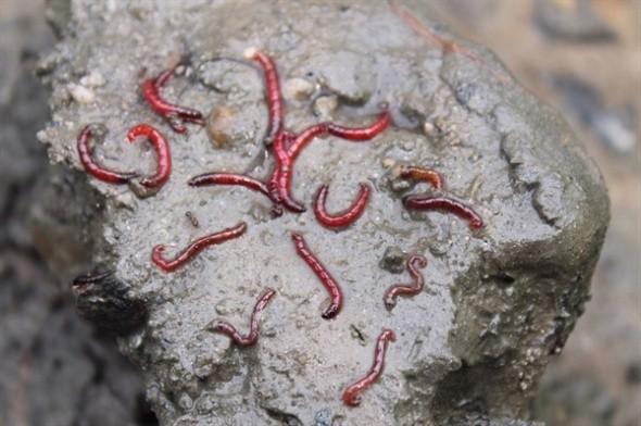 붉은 깔따구는 환경부가 공식 지정한 최악의 생명체입니다. 수생태 4급수 오염표종으로 붉은 깔따구가 사는 물은 수돗물로 사용할 수 없습니다. 또한, 오랫동안 접촉하면 피부병을 일으킬 수 있다고 정해 놓았다고 합니다.    붉은 깔따구가 주로 시궁창이나 하수구에서 발견되는 것이 바로 그 이유입니다. 